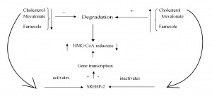 Figure 2. Long term adjustment of cholesterol synthesis. Reducing the amount of cholesterol, mevalonate, farnesole inhibits the degradation of the hydoxi methyl glutaril coenzyme A (HMG CoA) reductase. Reducing cholesterol activates SREBP-2 (sterol regulatory element binding protein) in the membrane of the endoplasmic reticulum, which migrates into the nucleus and induces transcription, and thus synthesis of HMG-CoA reductase. Increasing the amount of cholesterol has reverse effects.